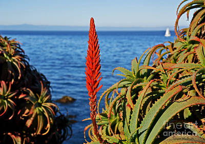 Aloe Arborescens Flowering At Pacific Grove Poster by Susan Wiedmann