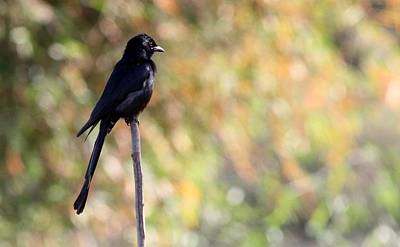 Poster featuring the photograph Alone - Black Drongo  by Ramabhadran Thirupattur