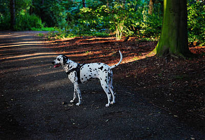 Alone In The Woods. Kokkie. Dalmatian Dog Poster by Jenny Rainbow