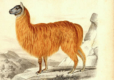 Alpaca Poster by Collection Abecasis