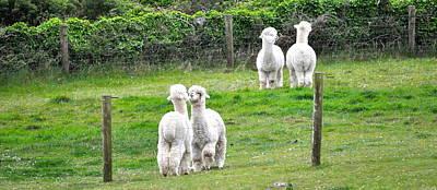 Alpacas In Ireland Poster by Teresa Tilley