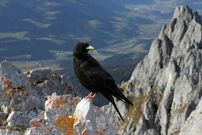 Alpine Chough Poster