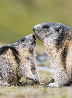 Alpine Marmot (marmota Marmota Poster by Martin Zwick