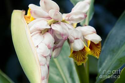 Alpinia Zerumbet - Shell Ginger - Iao Valley Wailuku Maui Hawaii Poster by Sharon Mau