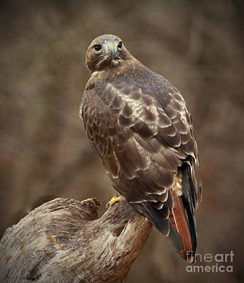 Always On Watch Redtailed Hawk Poster by Inspired Nature Photography Fine Art Photography