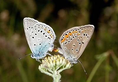 Amanda's Blue Butterflies Mating Poster by Bob Gibbons