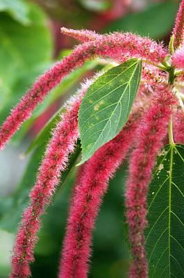 Amaranth (amaranthus Paniculatus) Poster