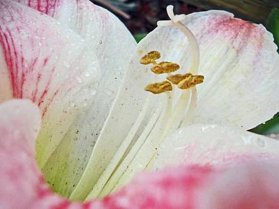 Amaryllis Belladonna Poster by Judy Hall-Folde