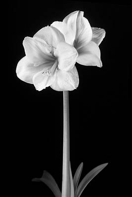 Amaryllis In Black And White Poster