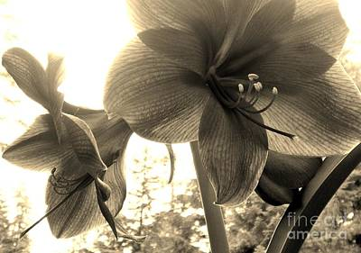 Amaryllis In Bloom Poster