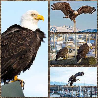 Amazing Bald Eagles Poster by Debra  Miller