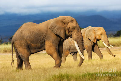 Amazing Grazing Elephant Bull In Amboseli National Park  Poster by Maggy Meyer