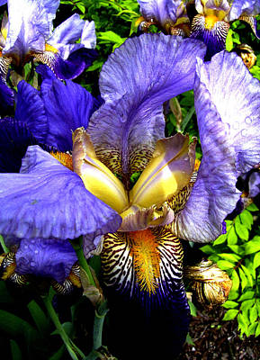 Amazing Iris Poster by Michele Avanti
