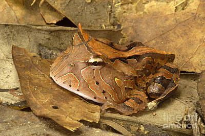 Amazon Horned Frog Poster by Natures Images