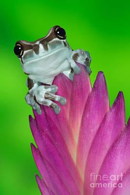 Amazon Milk Frog Trachycephalus Poster