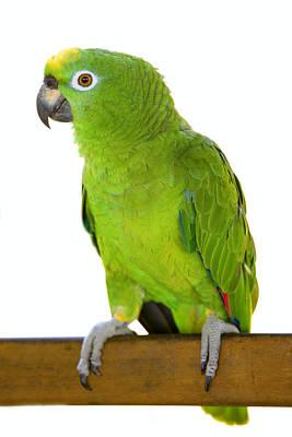Amazon Parrot Poster