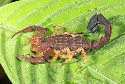 Amazonian Scorpion Poster