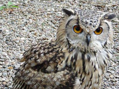 Amber Eyes Owl Poster