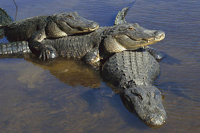 American Alligators In Shallows Florida Poster