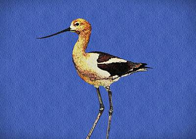 American Avocet Bird Poster
