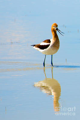 Poster featuring the photograph American Avocet by Vinnie Oakes