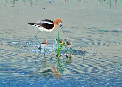 Poster featuring the photograph American Avocet With Young by Lula Adams