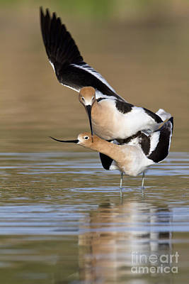 American Avocets Poster