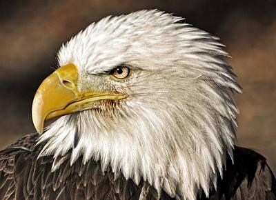 American Bald Eagle 33 Poster