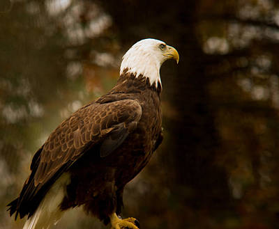 American Bald Eagle Awaiting Prey Poster by Douglas Barnett