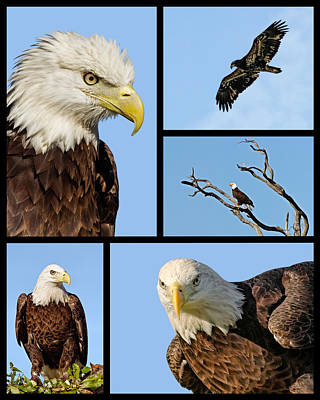 American Bald Eagle Collage Poster