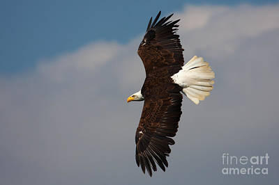Poster featuring the photograph American Bald Eagle In Flight by Nick  Biemans