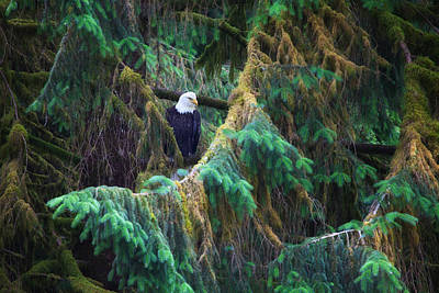 American Bald Eagle In The Pines Poster by June Jacobsen