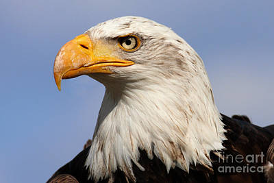 Poster featuring the photograph American Bald Eagle by Nick  Biemans