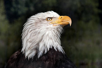 American Bald Eagle Profile Poster by June Jacobsen
