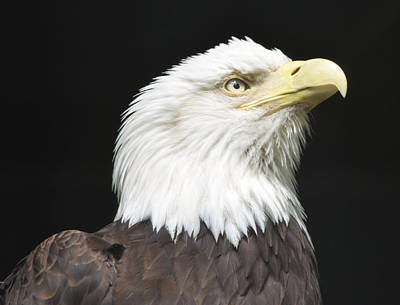 American Bald Eagle Profile Poster