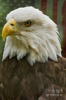 American Bald Eagle With American Flag Background Poster by Anne Rodkin
