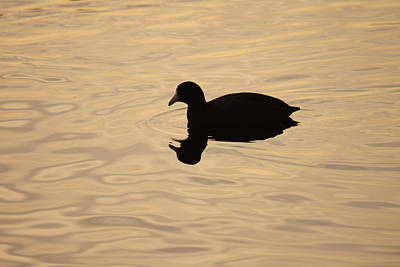 American Coot Silhouette Poster