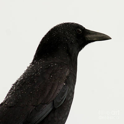 American Crow - Black On White Poster