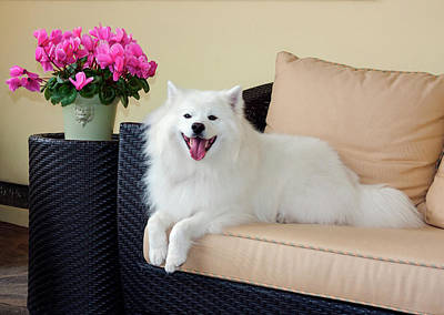 American Eskimo Lying On Patio Couch Poster