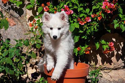 American Eskimo Puppy In A Garden Poster by Zandria Muench Beraldo