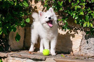 American Eskimo Puppy Ready To Play Poster by Zandria Muench Beraldo