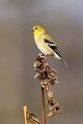American Goldfinch 9 Poster by David Lester