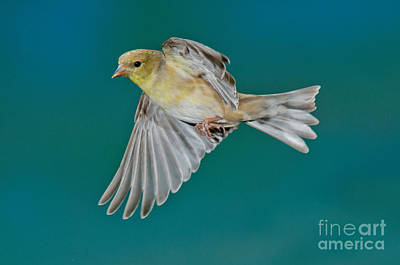 American Goldfinch Hen In Flight Poster by Anthony Mercieca