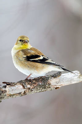 American Goldfinch Winter Plumage Poster