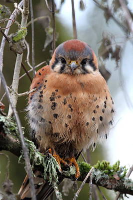American Kestrel Poster by Angie Vogel