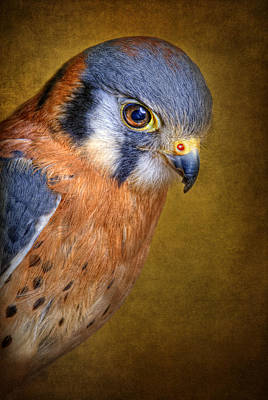 American Kestrel Falco Poster by Robert Jensen