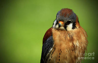 American Kestrel Focus Poster by Inspired Nature Photography Fine Art Photography