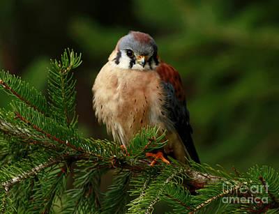 American Kestrel Nestled In The Pine Forest Poster