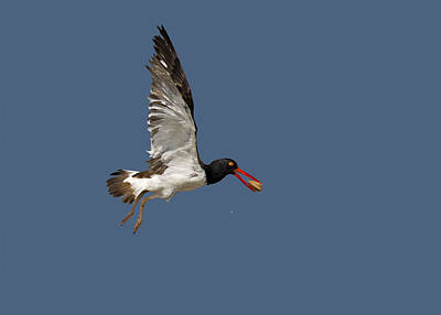 American Oystercatcher In Flight Poster by Susan Candelario