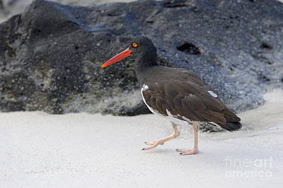 American Oystercatcher Looking For Food On Beach Poster by Sami Sarkis